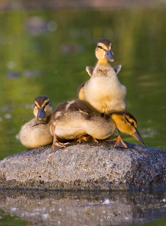 Alaska. Mallard (Anas platyrhynchos) ducklings resting on a rock in Cheney lake, Anchorage.