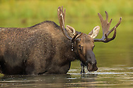Moose are very comfortable in the water and, despite their large size, they are excellent swimmers. Moose can paddle for several miles and will often submerge completely when searching for aquatic plants, staying underwater for more than 30 seconds at a time.