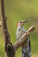 Red Bellied Woodpecker hanging on a dead branch of a tree