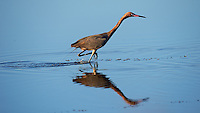 Reddish Egret on the Run at Merritt Island National Wildlife Refuge in Florida. Image taken with a Nikon D4 and 600 mm f/4 VR lens (ISO 250, 600 mm, f/5.6, 1/1250 sec).