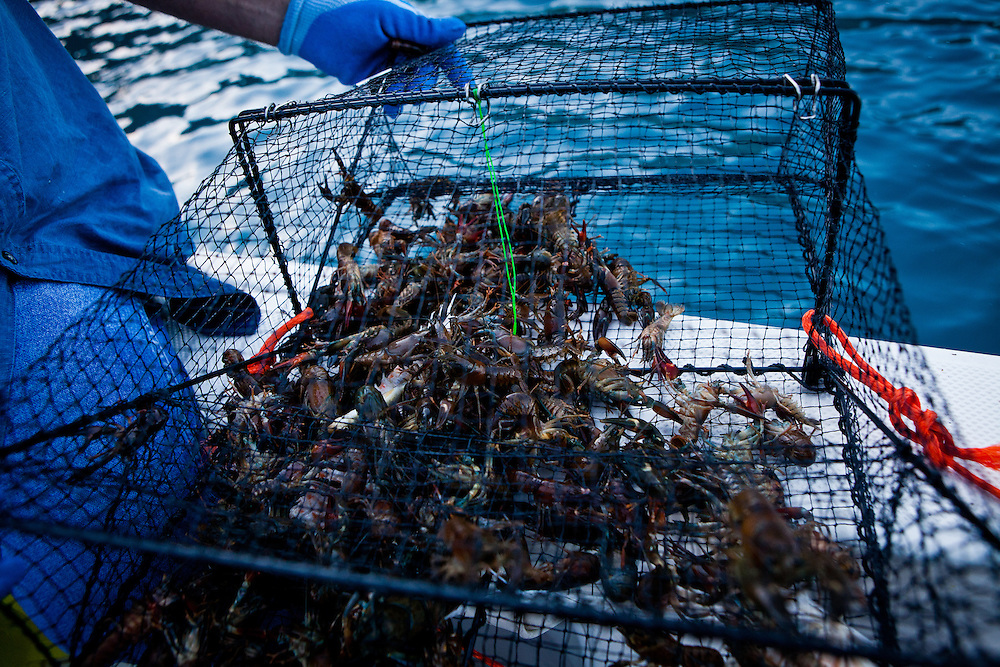 A trap of commercially harvested crayfish from Lake Tahoe near Incline Village, Nevada, July 8, 2012.