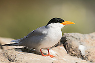 A female river tern sits on a rock waiting for food to be brough back by her mate, Ranganathittu Bird Sanctuary, India