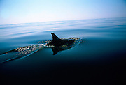 Dorsal fin of a dolphin in the Mediterranean Sea off the coast of southern Spain - RESERVED USE
