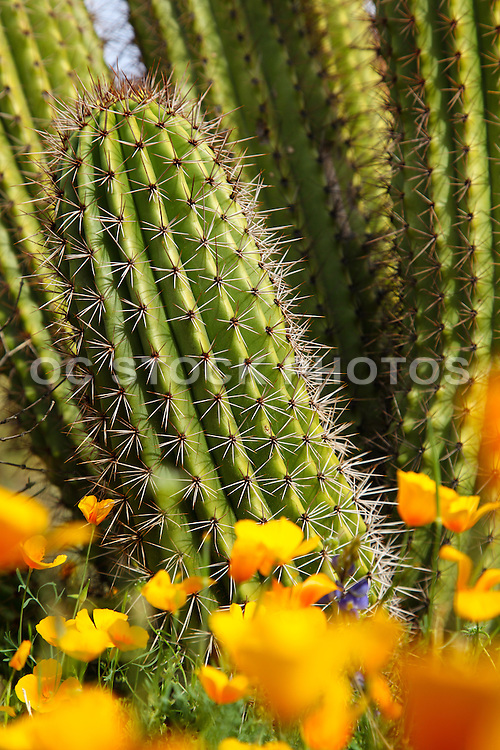 Cactus Plant and Poppy Flowers in the Sonoran Desert of Organ Pipe National Park in Arizona