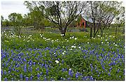 Mesquite trees (Prosopis glandulosa), Bluebonnets (Lupinus texensis), white prickly poppies (Argemone albiflora v. texana), Mason County, TX / #HC221