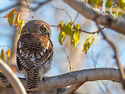 A wild barred owlet in the gorgeous Majete widlife reserve, Malawi