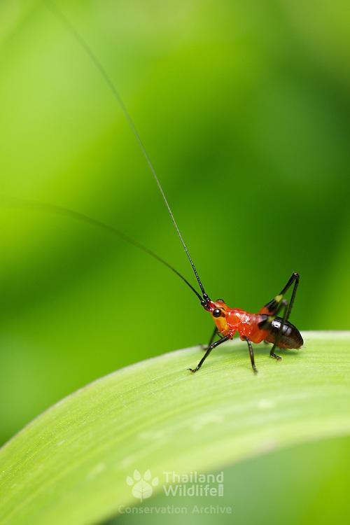 Conocephalus melaenus, black kneed meadow katydid nymph, Tettigoniidae, in Chaloem Phrakiat Thai Prachan National Park Thailand.