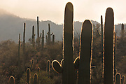 Winter storms bring rain and fog to Saguaro National Park West, Sonoran Desert, Tucson, Arizona, USA.