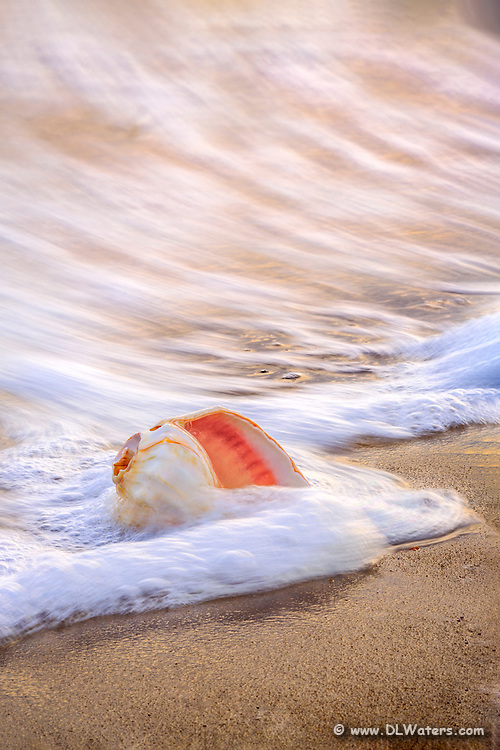 Whelk shell in the surf at sunrise on an Outer Banks beach.