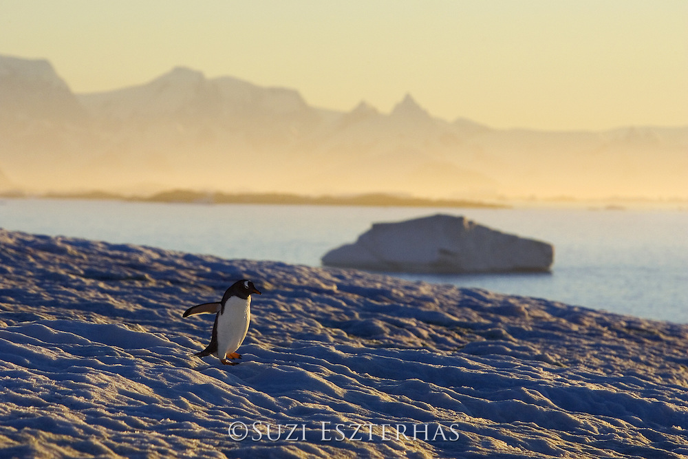 Gentoo Penguin<br /> Pygoscelis papua<br /> Walking on snow at sunset<br /> Petermann Island, Antarctica