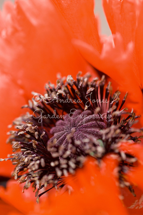 Papaver orientale 'Brilliant'. Deep orange flower with feathered petals.<br /> Gardening Leave, Auchencruive.