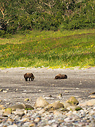 A pair of Alaska coastal brown bears check each other out along the shore of Chinitna Bay, Lake Clark National Park, Alaska.