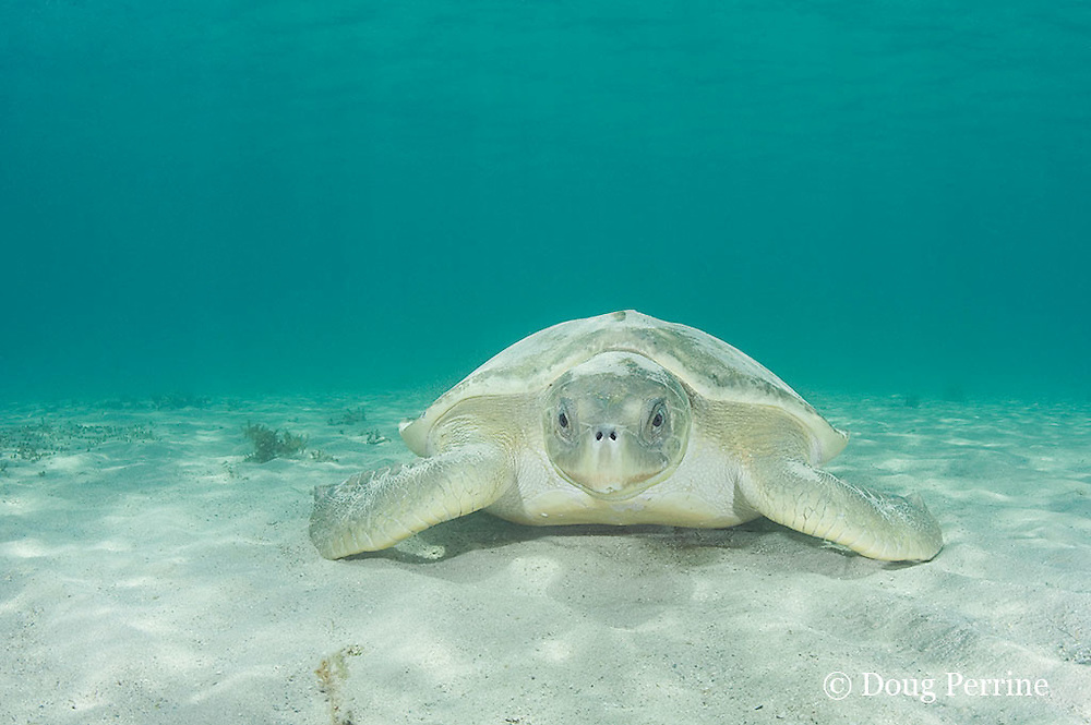 Australian flatback sea turtle, Natator depressus, endemic to Australia and southern New Guinea, female resting on seafloor off nesting beach, with sand thrown over carapace and head for camouflage, Australia