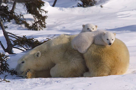Polar Bear (Ursus maritimus) Mother and small cubs. Hudson Bay, Canada