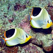 Saddled Butterflyfish inhabit reefs. Picture taken Fiji.