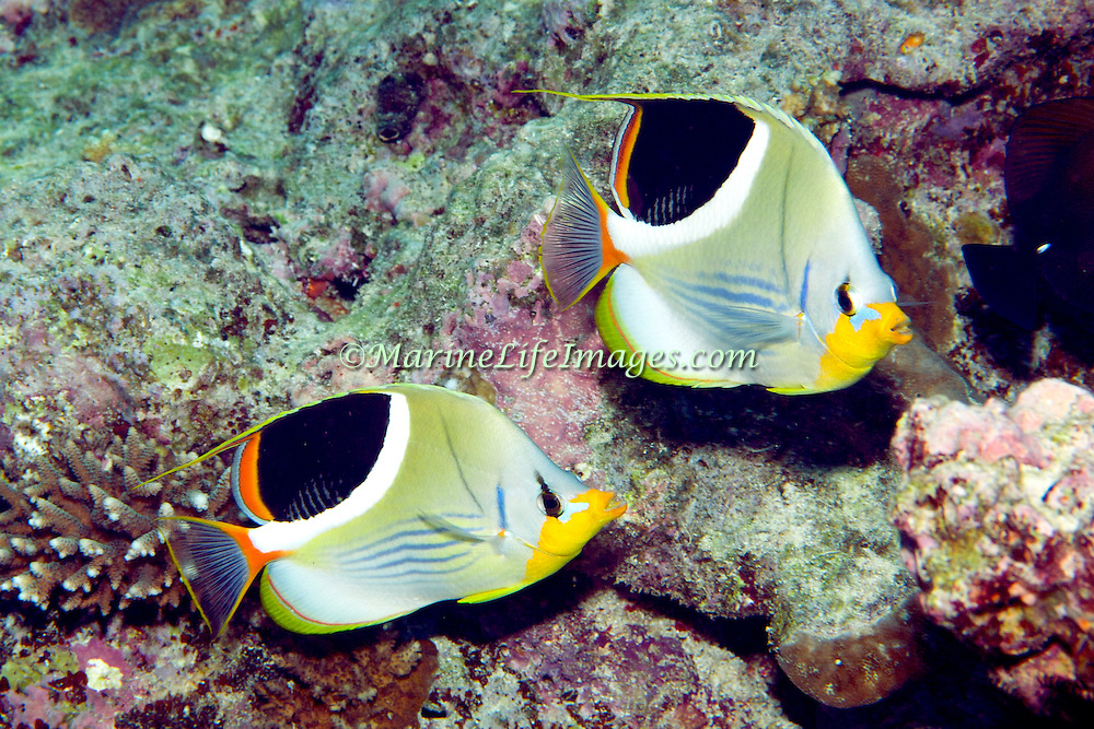Saddled Butterflyfish inhabit reefs. Picture taken Fiji.