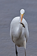 Great Egret with morning catch.  A small fish from the shoreline.