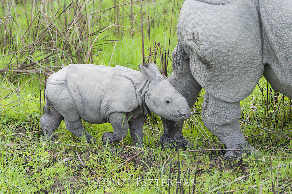 Indian rhinoceros  <br /> Rhinoceros unicornis<br /> 1-2 week old calf<br /> Kaziranga National Park, India