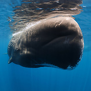 Head-on, close-up view of an adult female sperm whale (Physeter macrocephalus). This angle provides an excellent view of the sperm whale's disproportionately large forehead. The white coloration around the whale's mouth is a common trait.