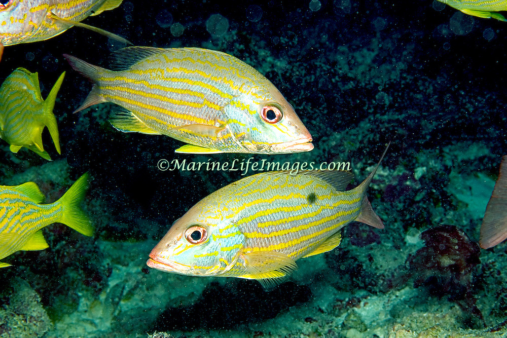 Lane Snapper inhabit shallow and mid-range reefs in Tropical West Atlantic; picture taken Key Largo, FL.