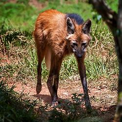 Canídeos (Cães, lobos e raposas) - Canidae / Canids