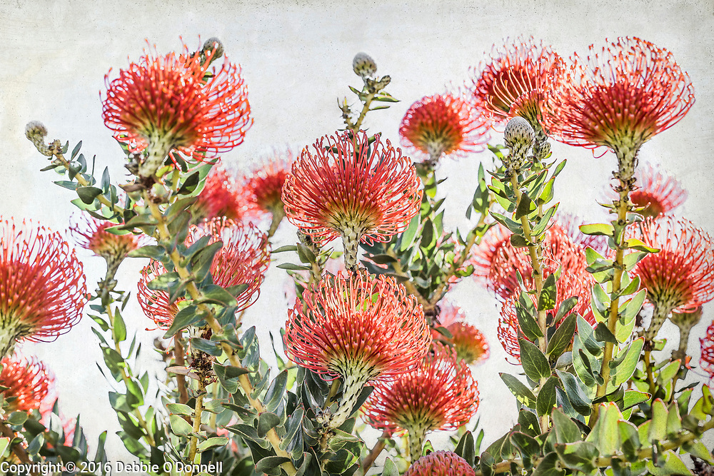 Although Proteas are native to South Africa, Australian soil and climate conditions make it easy to grow in Western Australia. The Pin Cushion Protea is a genus of about 50 species of flowering plants in the family Proteaceae and is closely related to the genus Banksia.