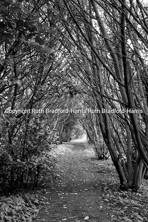 A tunnel of coppiced Hazels (Corylus avellana) form a Gothic Arch in the grounds of the ruined Nocton Hall in Lincolnshire.<br /> <br /> Date taken: 28 April 2016.