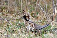 Male ruffed grouse in habitat