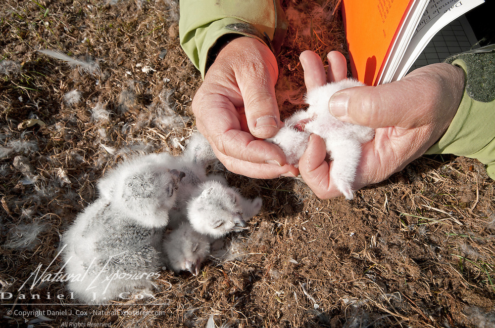 Denver Holt checks Snowy Owl chicks (Bubo scandiacus) on the north slope of the Brooks Range. Alaska