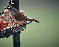 Carolina Wren. Image taken with a Nikon D5 camera and 600 mm f/4 VR lens (ISO 800, 600 mm, f/5.6, 1/1250 sec).