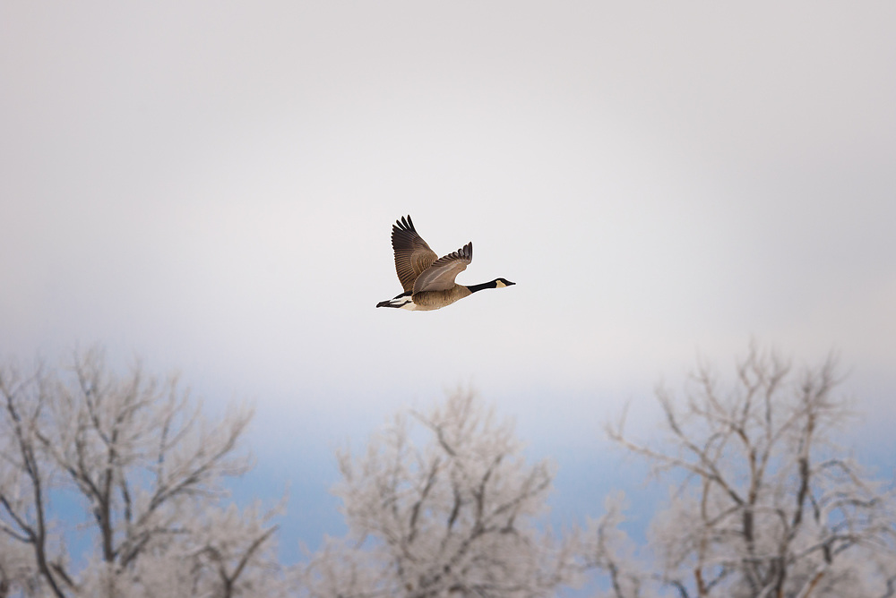 This is a picture of a Canadian goose in flight at the Rocky Mountain Arsenal in Denver Colorado.<br />