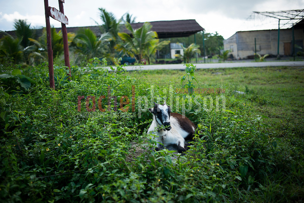 Cuba, Viñales, landscape, goat on a rock, cabra, farm houses