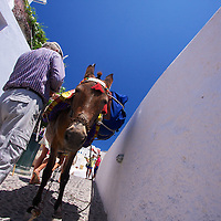The Donkey maybe the most popular animal on Santorini as they are both taxi and cargo transport, as well as iconic symbols of best method of getting up the steep climbs from the smaller, older ports of Oia and Thira.