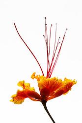 Pride of Barbados tree, caesalpinia pulcherrima #8