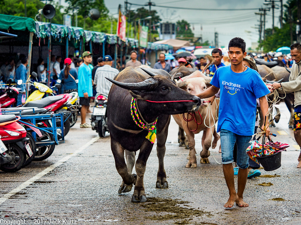 04 OCTOBER 2017 - CHONBURI, CHONBURI, THAILAND:  Water buffalo being taken to the race track. Contestants race water buffalo about 100 meters down a muddy straight away. The buffalo races in Chonburi first took place in 1912 for Thai King Rama VI. Now the races have evolved into a festival that marks the end of Buddhist Lent and is held on the first full moon of the 11th lunar month (either October or November). Thousands of people come to Chonburi, about 90 minutes from Bangkok, for the races and carnival midway.   PHOTO BY JACK KURTZ