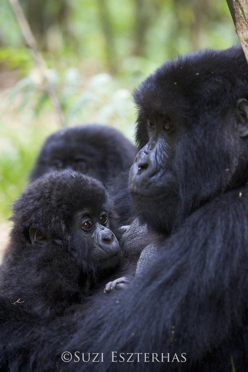 Mountain Gorilla<br /> Gorilla gorilla beringei<br /> 10 mos old infant resting on its mother's chest<br /> Parc National des Volcans, Rwanda