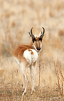 Antelope an ever vigilant animal that takes flight and run from a threat than stay and fight.