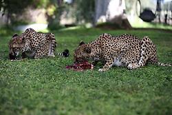 NAMIBIA KAMANJAB 27APR14 - Tame cheetahs enjoy a feeding session at the Ojitotongwe Cheetah farm near Kamanjab, Namibia.<br /> <br /> <br /> <br /> jre/Photo by Jiri Rezac<br /> <br /> <br /> <br /> © Jiri Rezac 2014