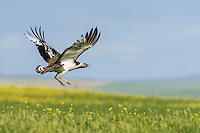 Denhams Bustard taking off from cultivated lands, Overberg, Western Cape, South Africa