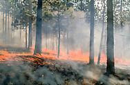 Prescribed fire burns hot along floor of ponderosa pine forest, © 1998 David A. Ponton