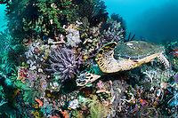 Hawksbill Turtle forages for a meal, at Cannibal Rock<br /> <br /> Shot in Indonesia