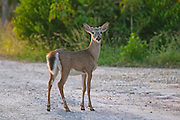 A key deer (Odocoileus virginianus clavium) pauses on a dirt road on No Name Key, one of the Florida Keys. The key deer is North America's smallest deer, with a typical height of just 30 inches (76 cm) at their shoulders. Found only in the Florida Keys, the key deer is endangered, with a total population of only about 700-800. On average, 30-40 key deer are killed each year by vehicles.