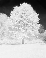 Netherlands, Boxtel, 20,140,409. <br /> At the Care Park Voorburg Reinier van Arkel in Vught. <br /> Infrared photo of a deciduous tree<br /> The grass and the leaves are colored white by the infrared effect. Young green leaves containerization a lot of chlorophyll That reflects the infrared light strongly. Therefore and appears white in the picture.<br /> <br /> Nederland, Vught, 20140416.<br /> Op het Zorgpark Voorburg van Reinier van Arkel in Vught. <br /> Infrarood foto van een loofboom.<br /> Het gras en de bladeren zijn wit gekleurd door het infrarood effect. Het jonge groen bevat veel chlorofyl dat het infrarode licht sterk weerkaatst. En daardoor wit lijkt op de foto.