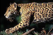 Jaguar_FAM