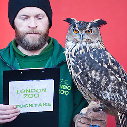 London, UK - 2 January 2014:  a zookeeper holds an eurasian eagle owl during the annual animal stocktake at ZSL London Zoo. The compulsory count is required as part of ZSL London Zoo's zoo license and the results are logged into the International Species Information System (ISIS), where the data is shared with zoos around the world and used to manage the international breeding programmes for endangered animals.