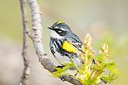 Yellow-rumped Warbler, Myrtle, Setophagacoronata, male on Eastern Cottonwood, Populus deltoides, Magee Marsh, Ohio