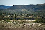 Africa, Namibia - Three Springbok grazing in untouched savannah