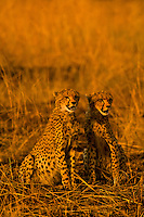 One and a half year old cheetah cubs, Masai Mara National Reserve, Kenya
