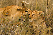 An African lioness (Panthera leo) and her cub in the grass, Masai Mara National Reserve, Kenya.