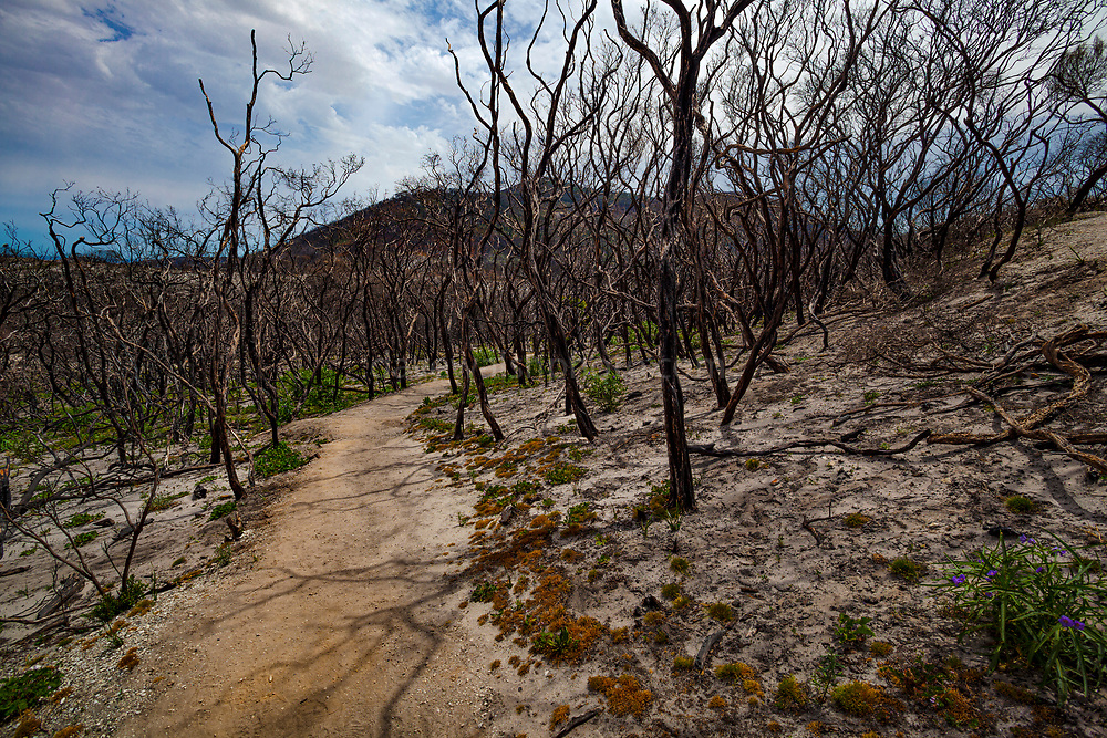 Vegetation returning to life in aftermath of bushfire, Wilsons Prom or Wilsons Promontory Marine Park, Gippsland, Victoria, Australia